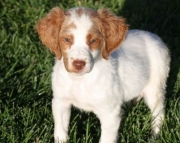 Terrific Brittany Puppies For Sale