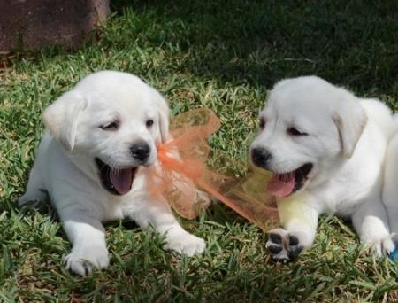 Extraordinary Labrador Retriever Puppies For Sale