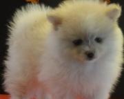 Tremendous Pomeranian Puppies For Sale