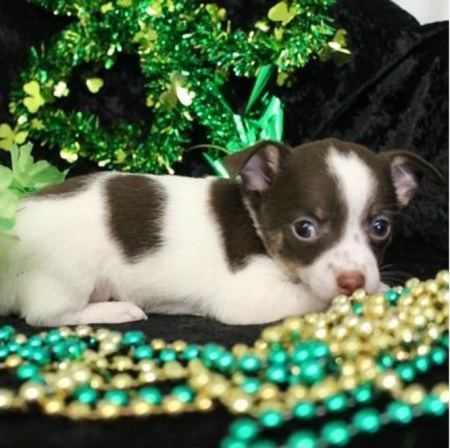 Great CHIHUAHUA  Puppies