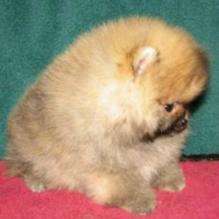 Great Pomeranian Puppies