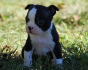 Ainsley Boston Terrier Puppies for sale505x652x7165