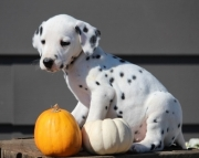 Fringe Dalmatian Puppies for sale505x652x7165