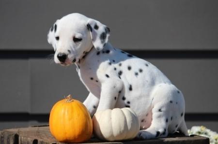 Fringe Dalmatian Puppies for Sale505x652x7165