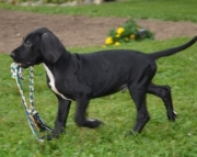 ( Great Dane Puppies for sale 505x652x7165  )