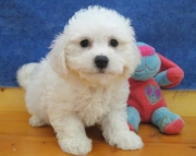 3 Bichon Frise Puppies for sale 505x652x7165