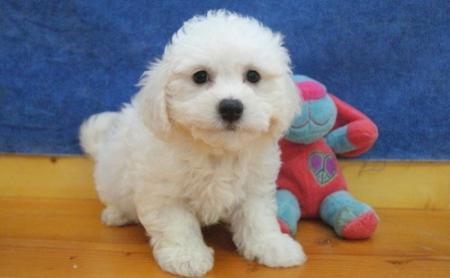 3 Bichon Frise Puppies for Sale 505x652x7165