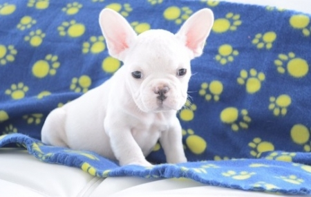 Home Raised French Bulldog Puppies for Sale 505x652x7165