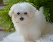 Humbly Bichon Frise Puppies for sale 505x652x7165
