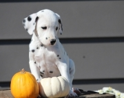 Dalmatian Puppies for sale505x652x7165