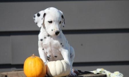 Dalmatian Puppies for Sale505x652x7165