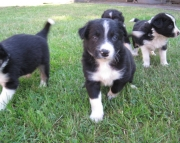 1Border Collie puppies for sale 505x652x7165