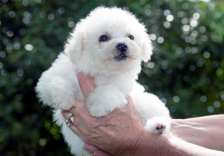 Bischon Frise Puppies for Sale 505x652x7165