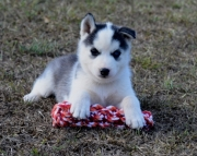 **Siberian Husky Puppies for sale 505x652x7165**