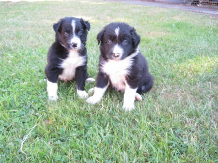 Border Collie Puppies for Sale 505x652x7165