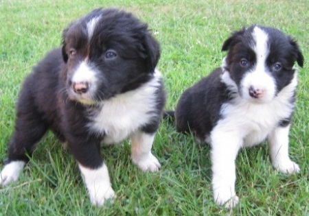 3 Border Collie Puppies for Sale 505x652x7165