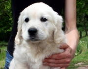 (Golden Retriever Puppies for sale 505x652x7165)