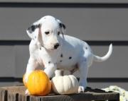 Carefull Dalmatian Puppies for sale 505x652x7165