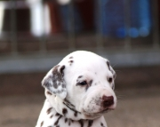 Great Dalmatian Puppies for sale 505x652x7165