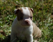 Carious Boston Terrier Puppies  505x652x7165