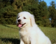 Sweet Golden Retriever Puppies for sale505x652x7165