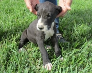 1 Great Dane puppies for sale 505x652x7165