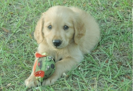 Golden Retriever Puppies for Sale505x652x7165