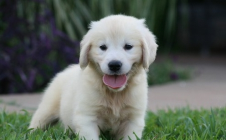 ** Golden Retriever Puppies for Sale  505x652x7165
