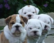 able English pupies available Now! please