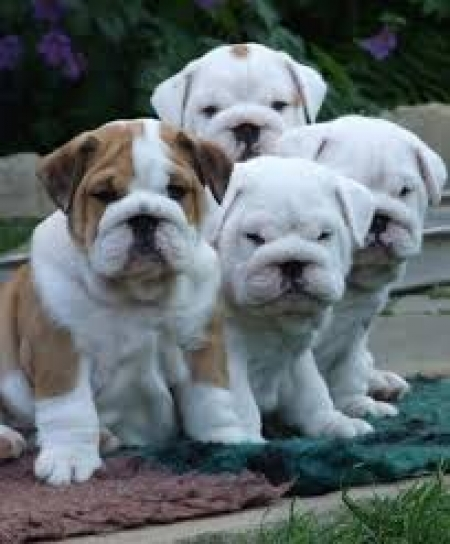 English Pupies Available Now! Please
