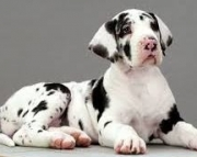 Hdhddsjh Great Dane Puppies for sale