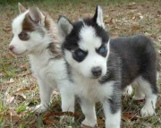 Sbnd Siberian Husky Puppies for Sale