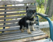 Gsdhdssd German Shepherd puppies for sale