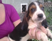 Dhddgjd Basset Hound Puppies for sale
