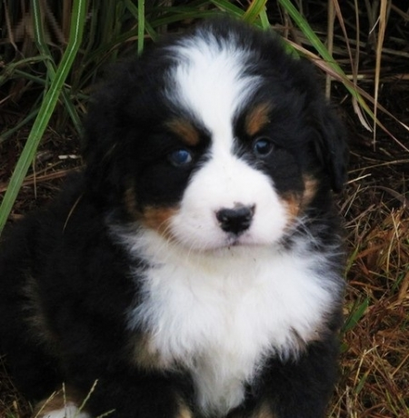 Yhjdfjh Bernese Mountain Dog Puppies For Sale