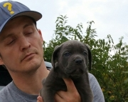 Hmhdfh Cane Corso Italiano puppies for sale