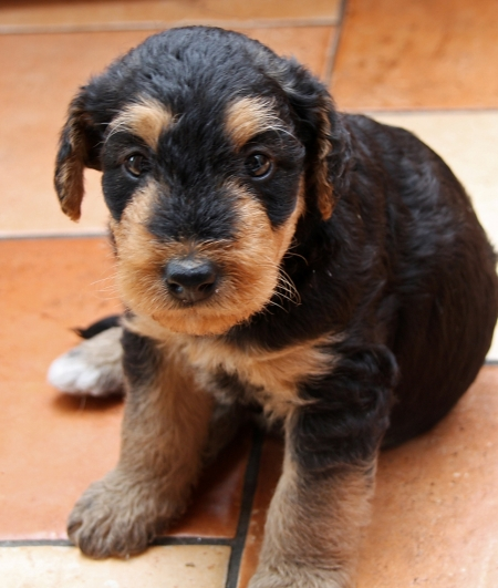 Juhfd Airedale Terrier Puppies for Sale