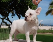 agreeable French puppy Available for Sale.