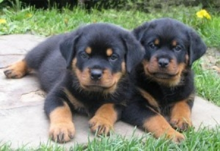 Rottweiler Puppies for Sale 505xx652xx7165