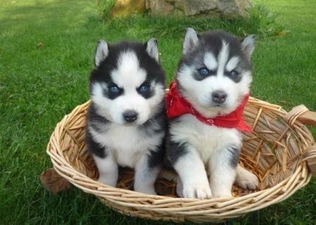 Siberian Husky Puppies for Sale 505xx652xx7165