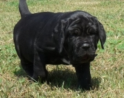 neapolitan mastiff puppies 505xx652xx7165