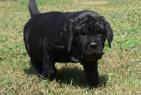 Neapolitan Mastiff Puppies 505xx652xx7165