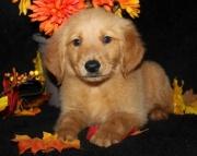 English Golden Retriever Puppies for sale  505xx652xx7165