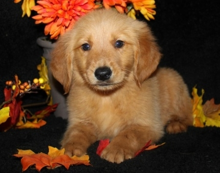 Hansome Great Golden Retriever Puppes for Sale 505xx652xx7165