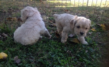 *Home Raised Cocker Spaniel Puppies for Sale