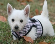 West Highland White Terrier Puppies For Sale 505xx652xx7165