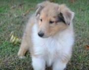 collie puppies for sale 505xx652xx7165