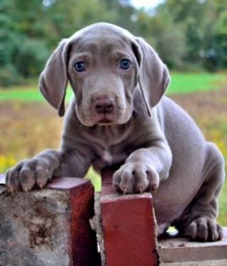 Ace - Weimaraner Puppy for Sale
