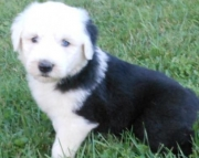 Marlee - Old English Sheepdog Puppy for Sale
