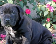 Molly - South African Boerboels Puppy for Sale